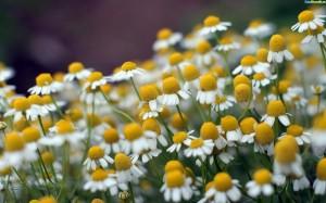 camomila-verdadeira-macanilha-sementes-flor-para-mudas-7851-MLB5292912927_102013-F