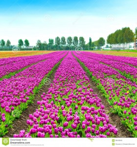http://www.dreamstime.com/stock-photo-tulip-blosssom-flowers-cultivation-field-spring-holland-n-colorful-blossom-keukenhof-netherlands-europe-image38543940